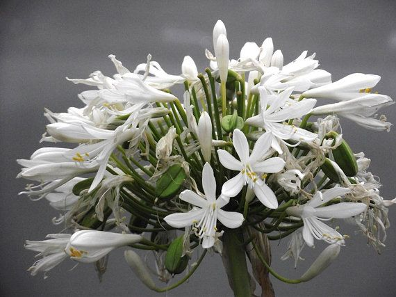 White Agapanthus Flowers Photograph Art New by KarenLawsonArt, $5.00