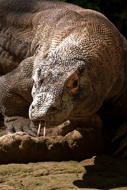 face to face with a komodo dragon
