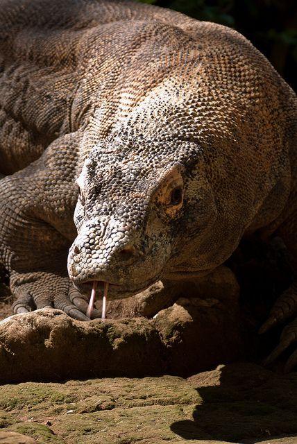 Komodo dragon. It is a dragon, for pete's sake!!
