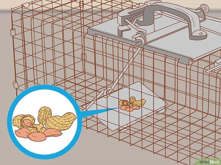 Get rid of squirrels in the attic get rid of squirrels