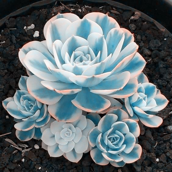 100 seeds/pack Mini Potted Succulents Seed Stone Blue Lotus Flower Seeds Garden Decoration Bonsai Flower Seeds