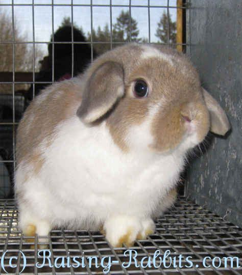 Cutest bunny ever! This is a show quality Holland lop waiting in its coop for the rabbit judge to also see how cute it is...