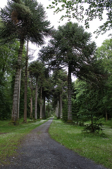 Avenue of Monkey Puzzle Trees, Woodstock Gardens, Ireland:  This still had an abandoned/frozen in time look when I visited.  The renovations now appear to be complete.  The gardens are absolutely beautiful and feature exotic trees from around the world.
