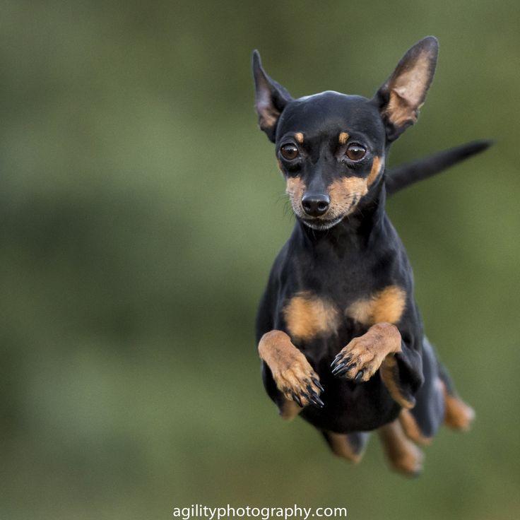 Dog Agility - Miniature Pinscher