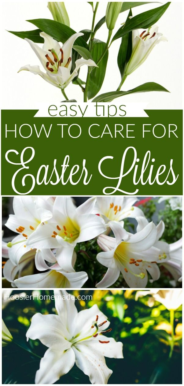 Care Of Easter Lilly