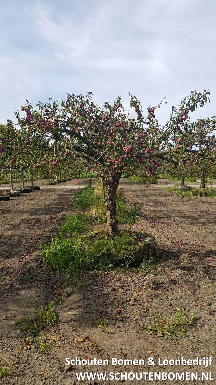 oude pruimenboom