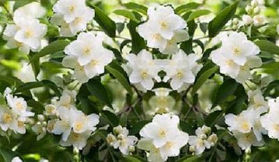 How to Grow Spanish Jasmine Plant : Chameli Plant Care