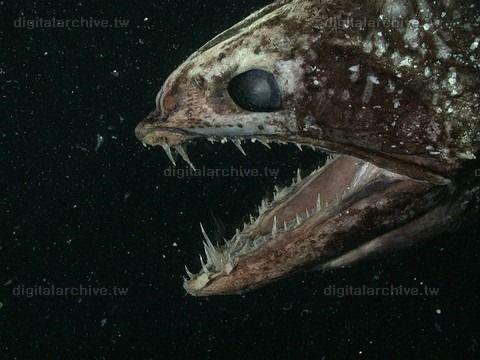 深海魚 - Google 検索