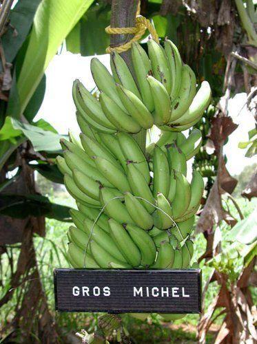 Gros-Michel-Banana-Plant-RARE-Variety-Fruits-4-034-Pot-Graden