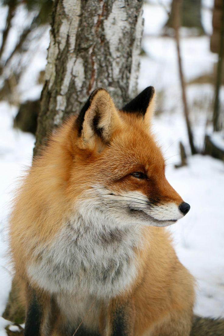 275 best foxes images on pinterest red fox coyotes and fox animal