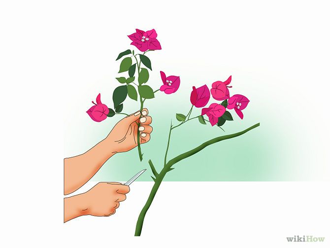 How to Propagate Bougainvillea - wikiHow
