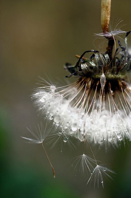 The Dew and the Dandelion.