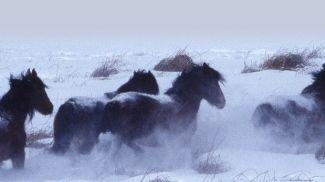 I cavalli selvaggi canadesi? hanno  nonni siberiani