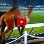 Carrera De Relevos De 4 Enanos Contra Un Camello