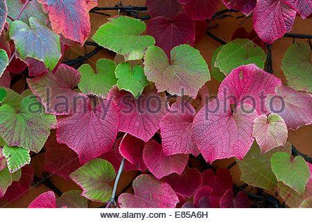 Vitis coignetiae. Crimson glory vine leaves in autumn - Stock Image