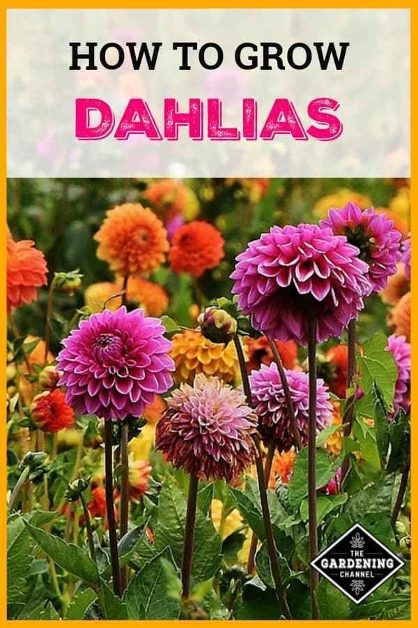 How To Grow And Overwinter Dahlias Growing Dahlias Dahlia Flower Garden Dahlias Garden