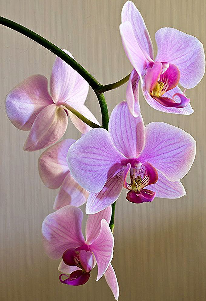 A Thing Of Beauty By Purpleamethyst45 Orchid Photography Orchids Painting Orchid Flower