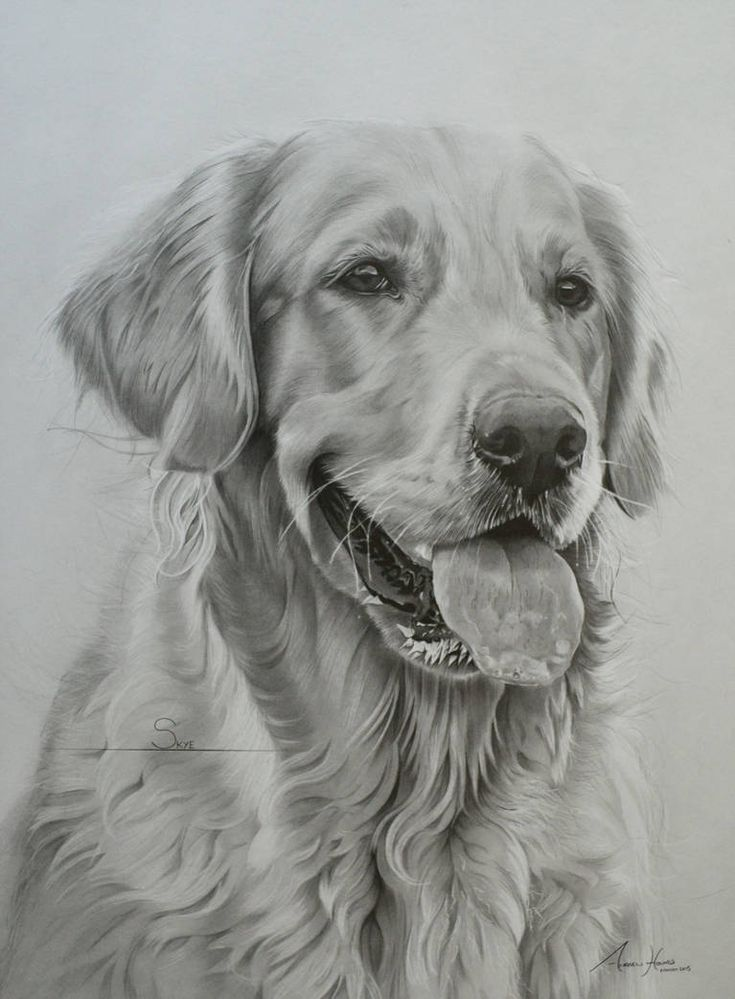 this is skye a golden retriever who lives in scotland