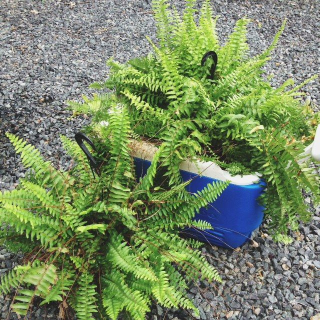 The trick for ferns: every couple of days submerge your ferns in a large bucket filled with 1/2 cup of epsom salts and 3 gallons of water until the soil stops bubbling. Then hang up to drip dry.