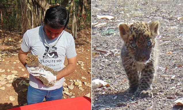 Baby leopard cub is abandoned after villagers see off its mother