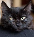 nochnoy-ohotnik | Нельсон - Пушистый черный красавец. Годик. Спасенный из подвала котенок. Прооперирован от симблефарона (сросшаяся коньюктива), немного подтекает глазик. Не привит. Кастрирован. Ласковый, но осторожный котик.  http://priuyt.wix.com/nochnoy-ohotnik#!-/cnif