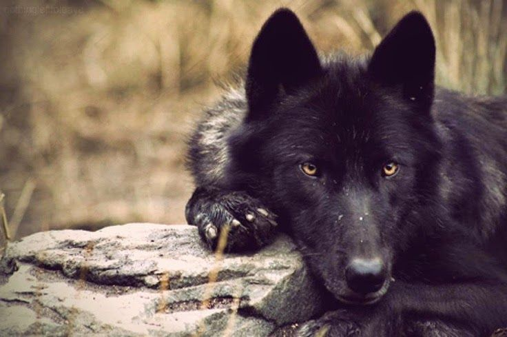 Stunning Photographs Showcase the Beauty of Black Wolves (ironically, site is named White Wolf)