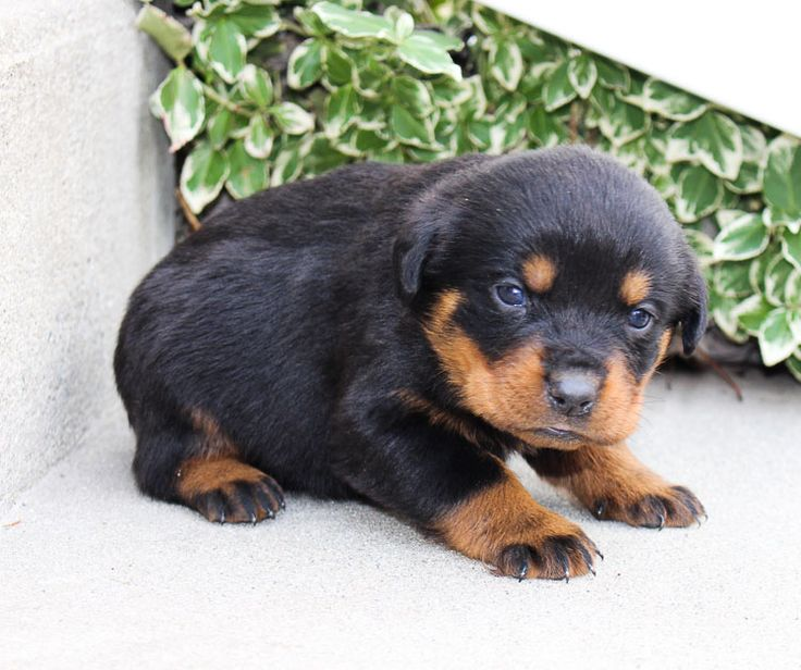 Landle A new male AKC Rottweiler puppy born in Grabill