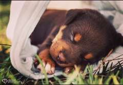 Purebred red & tan kelpies.  4 weeks old & ready for viewing.  1 male 1 female left  both parents excellent bloodline - https://www.pups4sale.com.au/dog-breed/450/Kelpie-(Australian).html