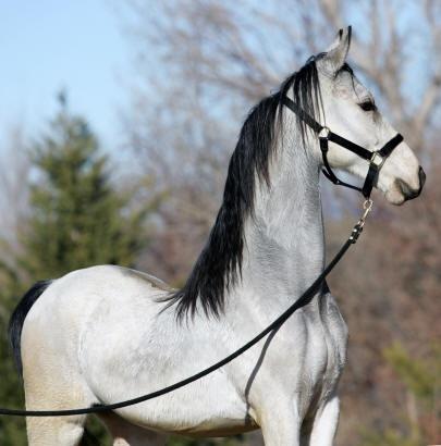 What a beautiful Saddlebred !