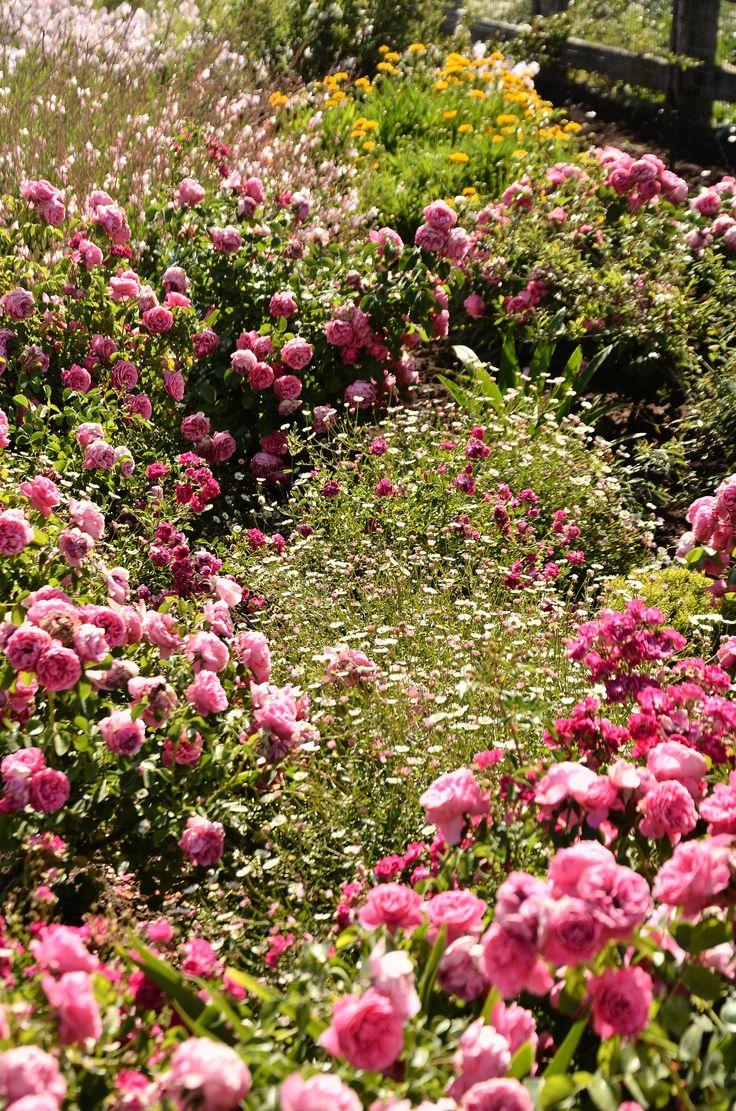 rosas y vitadineas