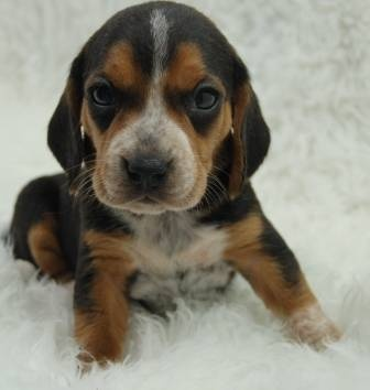 Mini Beagle Puppies for Sale-4 Females Available