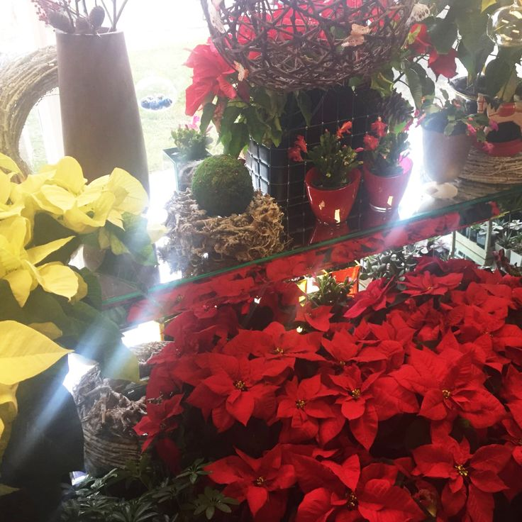 Give your plant bright, indirect light and water when the soil starts to feel dry. Avoid overwatering. #poinsettia