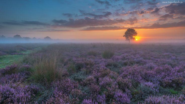 Wschód, Słońca, Mgła, Drzewo, Wrzosowisko