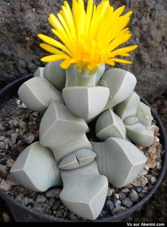 Lapidaire margaretae est une plante succulente étrange de la famille des Aizoacées, qui s'apparente aux « Pierres vivantes » #Animaux #Etrange #Bizarre