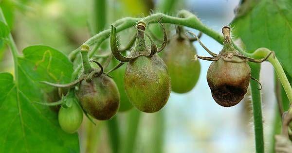 Sind deine Pflanzen von Pilzerkrankungen befallen und du suchst natürliche Gegenmittel ohne zu Chemie greifen zu müssen? Hier erfährst du was wogegen wirkt!