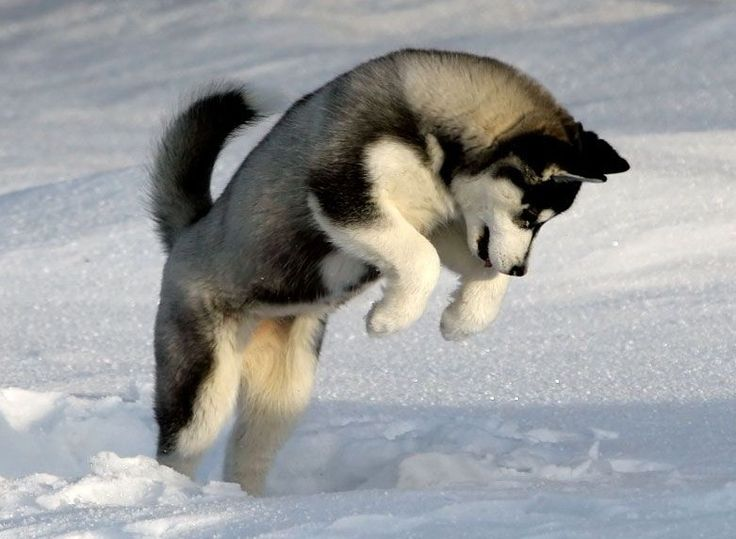 Can't wait till I can have a Huskey!