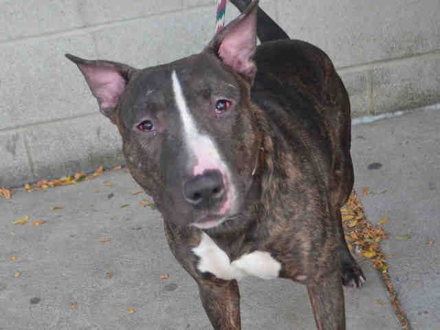 CHEDDAR TO BE DESTROYED‼️ - 10/05/16 - - Urgent Manhattan- #A1091371 - MALE BR BRINDLE/WHITE BULL TERRIER, 4 Yrs - STRAY - NO HOLD Reason STRAY - Intake 09/26/16 Due Out 09/29/16 -