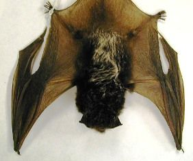 Silver-haired Bat- The silvered-haired bat is a medium-size bat. It's dark brown-black hairs are tipped with silver giving it an icy appearance. The silver-tipped hairs do not extend to the face or neck. Their ears are short, rounded and without fur. The silver-haired bats are migratory, and sometimes migrate in groups.