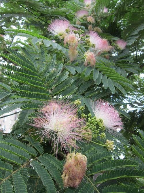 Ленкоранская акация (альбиция) из семян