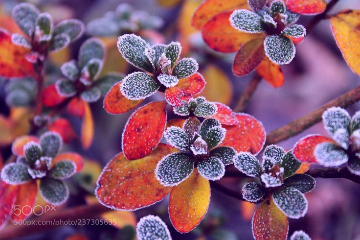 Seasoned with frost (Magdalena Habiera / Silesia / Poland) #Canon EOS 1100D #macro #photo #insect #nature