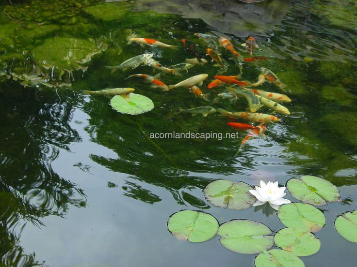 9 best pond fish rochester ny koi and goldfish rochester for Koi pond york