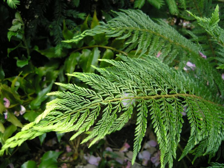 Polystichum setiferum 'Plumosum Bevis'