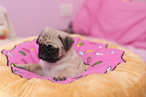 """""""Santa got my letters A GIANT DOUGHNUT!!"""" Howled the pug puppy excitedly"""