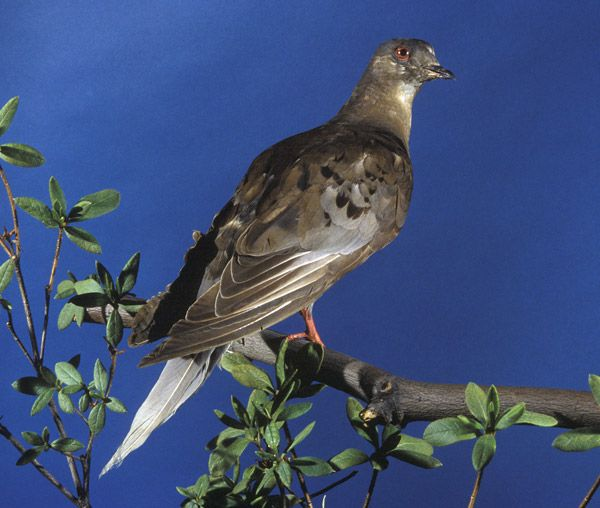 """Martha,"" a passenger pigeon named after George Washington's wife, was the last of her kind. Immediately following her death in 1914 at the Cincinnati Zoological Gardens, she was packed in an enormous 300-pound block of ice and shipped to the Smithsonian. #seriouslyamazing"