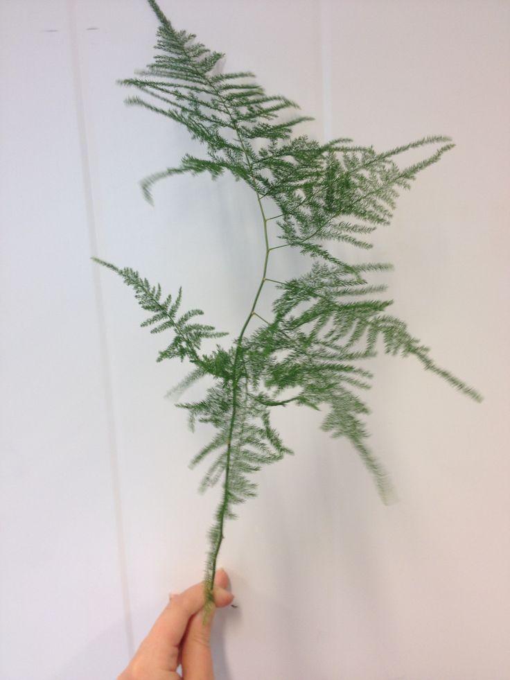 Asparagus Ex plumoses - ... -