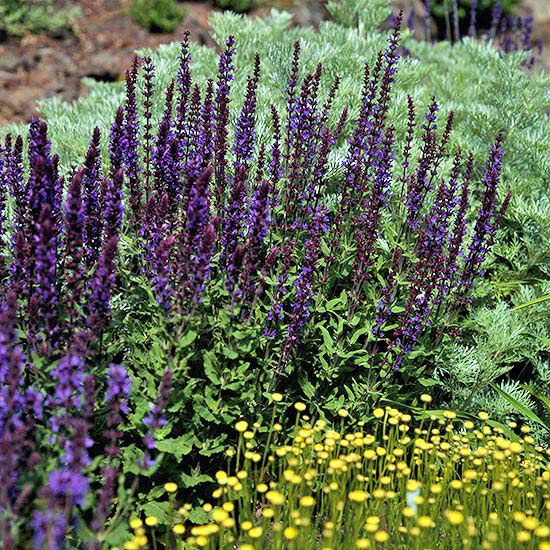 69 Best Images About Salvia On Pinterest