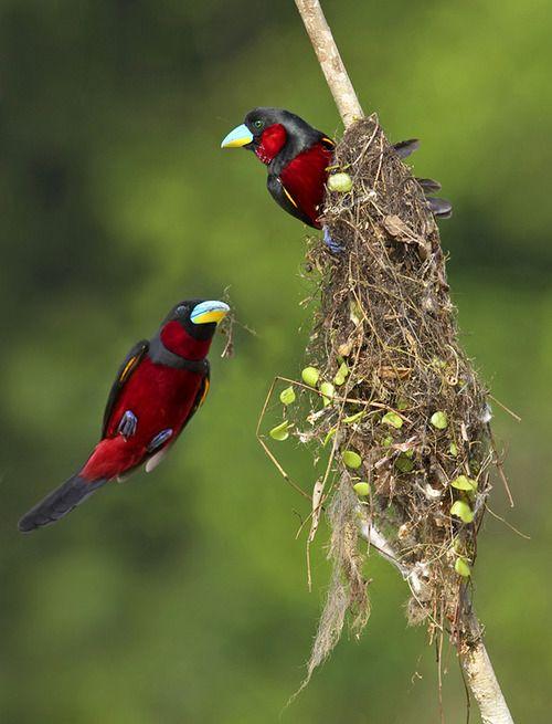 Ninho...  Broadbil Preto E Vermelho: Seus ninhos são muitas vezes construídos com tocos mortos ou ao longo  das curvas nos córregos. As fêmeas colocam de  2 a 3 ovos. Os machos podem ajudar as fêmeas a incubarem os ovos. Estas aves são nativas do sul da Ásia.