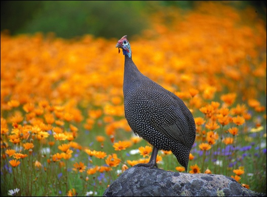 Helmeted guineafowl at Kirstenbosch National Botanical Gardens, Cape Town, Western Cape. Pule.