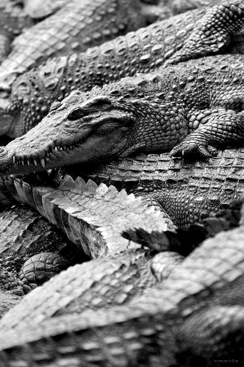 A pile of Crocodiles~♛
