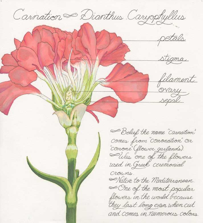 Carnation flower parts diagram explore schematic wiring diagram 26 best carnation images on pinterest carnations cut flowers and rh pinterest com flower reproduction diagram flower reproduction diagram ccuart Gallery
